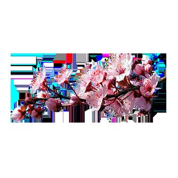 Цветущая сакура - один из тысячи уникальных ароматов для ...  Цветущая Сакура Png